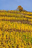 October afternoon in the vineyards near Winningen, Rhineland Palatinate, Germany, Europe