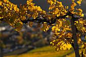 View of autumn vine leaves, Winningen, Moselle Valley, Rhineland-Palatinate, Germany, Europe