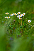 Daisies in a meadow in springtime, Bavaria, Germany, Europe