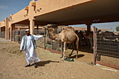 Man leads dromedary from a stall in the Al Ain Camel Market, Al Ain, Abu Dhabi, United Arab Emirates, Middle East