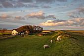Schafe auf Deich mit Bauernhaus, nahe Den Burg, Texel, Westfriesische Inseln, Friesland, Niederlande, Europa