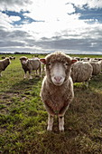 Texel sheep in a meadow, near Oudeschild, Texel, West Frisian Islands, Friesland, Netherlands, Europe