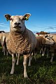 Texel-Schafe auf einer Wiese, nahe Den Hoorn, Texel, Westfriesische Inseln, Friesland, Niederlande, Europa