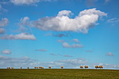 Sheep on dike with white clouds in a blue sky, near Hollum, Ameland, West Frisian Islands, Friesland, Netherlands, Europe