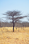Angola; in the western part of the province of Cunene; for the south typical grass savannah with acacia trees