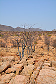 Angola; in the southern part of Namibe Province; End of dry season; mountainous landscape with low acacia trees and other bushes; little vegetation