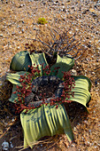 Angola; in the southern part of Namibe Province; Iona National Park; male Welwitschia