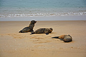 Angola; in the southern part of Namibe Province; northern part of the Namib Desert; Iona National Park; Atlantic coast; Seals lounging on the beach