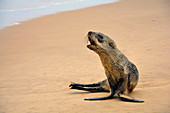 Angola; in the southern part of Namibe Province; northern part of the Namib Desert; Baia dos Tigres; Atlantic coast; Seal on the beach
