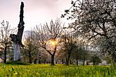 Cherry tree plantation for the cherry blossom in Franconia near Ebermannstadt at sunset, Upper Franconia, Bavaria, Germany