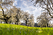Cherry tree plantation for cherry blossom in Franconia near Ebermannstadt in the afternoon, Upper Franconia, Bavaria, Germany