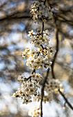 Cherry blossom near Pretzfeld in the afternoon, Upper Franconia, Bavaria, Germany