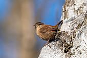 Wren in the tree, bird
