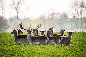 Herd of fallow deer in rapeseed field, Neukirchen, East Holstein, Germany