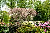 Rhododendron grove in the Eutiner Seepark, Holstein Switzerland Nature Park, Ostholstein, Schleswig-Holstein, Germany