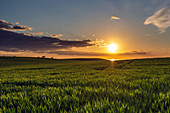 Barley field in sunset on the Baltic Sea, Dazendorf, Ostholstein, Schleswig-Holstein, Germany