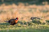 Pheasant and brown hare, male, Hohes Ufer, Heiligenhafen, Ostholstein, Schleswig-Holstein, Germany