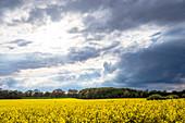 Rapeseed field near Sensby, Schwansen, Thumby, Schleswig-Holstein, Germany