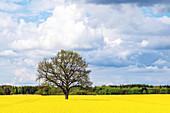 Solitaire kingdoms in the rapeseed field near Damp, Schlei region, Schwansen, Schleswig-Holstein, Germany
