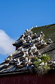 Möwennester an einem alten Lagerhaus im Hafen, Rörvik, Norwegen