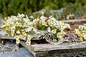 Blumen wachsen auf altem Fischernetz, Ausflug zum Eiderdaunen Dorf Länan von der Insel Vega, Norwegen