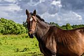 Pferde auf der Insel Vega, Norwegen