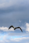 Gull, Vega Island, Norway