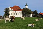 Cow meadow in front of the Wieskirche, Steingaden, Pfaffenwinkel, Upper Bavaria, Bavaria, Germany