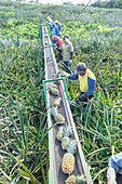 Workers putting pineapples on a conveyor belt, Costa Rica, Central America