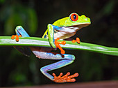 Red eyed tree frog (Agalychins callydrias) on green stem, Costa Rica
