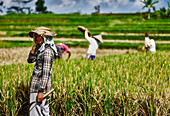 Landarbeiter macht Pause in der Hitze des Morgens während der Reisernte in Tampaksiring, Bali, Indonesien.