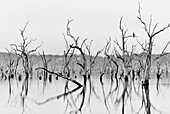 A cormorant sits on a branch at a smoky sunrise (controlled burning) at a flooded forest, Lily Creek Lagoon, Kununurra, Western Australia, Australia.