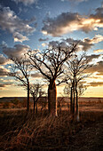 A grove of boab trees, Telegraph Hill, Wyndham, The Kimberley, Western Australia, Australia.