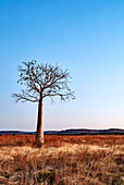 A lone young boab tree stands in a plain near Wyndham during the dry season, The Kimberley, Western Australia, Australia.