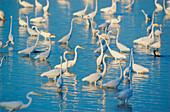 Great white egrets (Ardea alba) looking for food in a pond, Sanibel Island, J.N. Ding Darling National Wildlife Refuge, Florida, USA