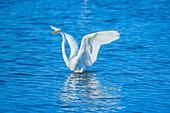 Great white egret (Ardea alba) starting flight, Sanibel Island, J.N. Ding Darling National Wildlife Refuge, Florida, USA