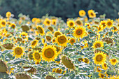 Sunflowers field, Alpes de Haute Provence, Provence, France,