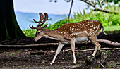 Fallow deer stag between trees in the Rolandseck Forest and Wildlife Park, Remagen, Rhineland-Palatinate, Germany