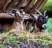 Yawning goat at lunchtime, Rolandseck Forest and Wildlife Park, Remagen, Rhineland-Palatinate, Germany