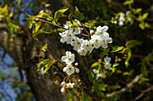 Bird cherry blossoms in the light of a spring evening, Bavaria, Germany, Europe