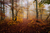 Morning mood in the beech forest in autumn south of Munich, Bavaria, Germany, Europe