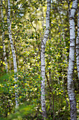 Young birch trees in the summer forest, Bavaria, Germany, Europe