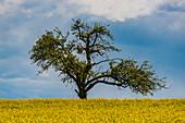 Blooming apple tree (Malus domestica), on the Hödinger Berg, Hödingen, Lake Constance district, Upper Swabia, Baden-Wuerttemberg, Germany, Europe