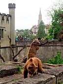 Bären im Bärengraben an der Aare, Bern, Schweiz