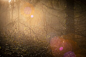 Morning light in the misty Barkeler Busch forest, Schortens, Friesland, Lower Saxony, Germany, Europe