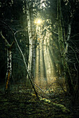 Sun rays between birch trees in the misty Barkeler Busch forest, Schortens, Friesland, Lower Saxony, Germany, Europe
