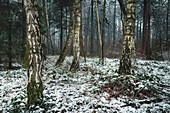 Birch trees in the snow, Barkeler Busch forest, Schortens, Friesland, Lower Saxony, Germany, Europe