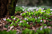 Wood sorrel (Oxalis acetosella) in the Neuchâtel jungle, Zetel, Friesland, Lower Saxony, Germany, Europe