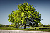 Old oak in the Teufelsmoor under a blue sky, Worpswede, Osterholz, Lower Saxony, Germany, Europe
