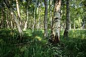 Birch trees in the Bockhorner Moor, Friesland, Lower Saxony, Germany, Europe